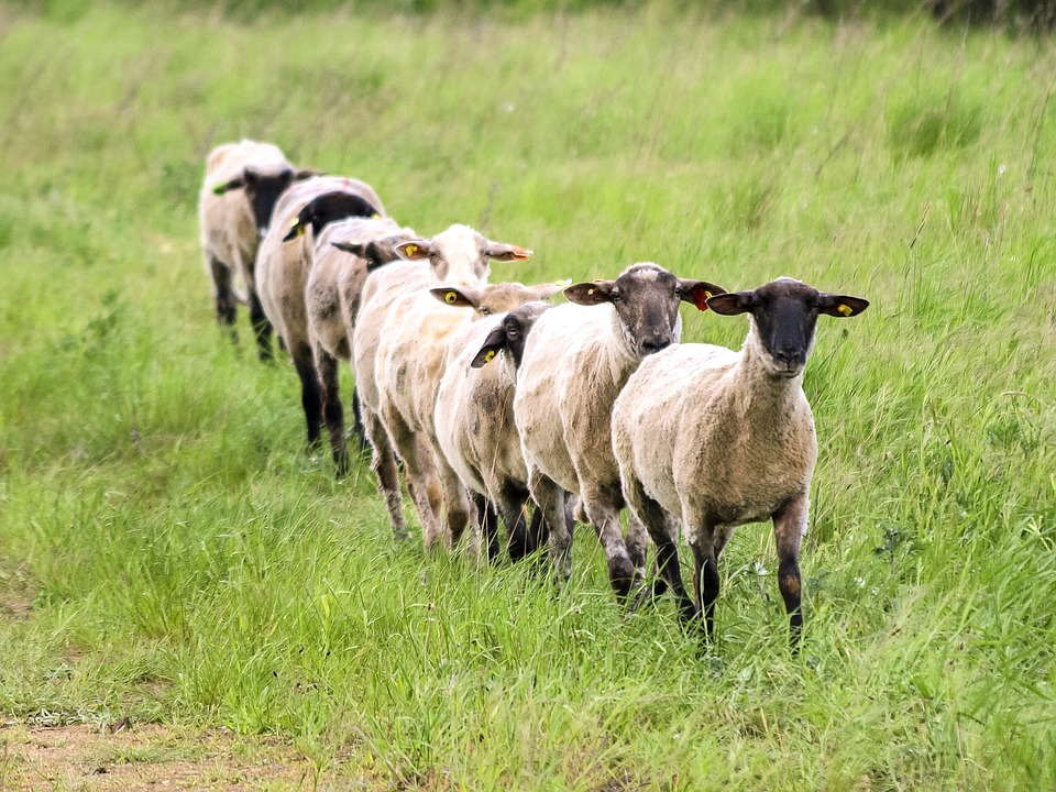 Sheep 2394929 960 720